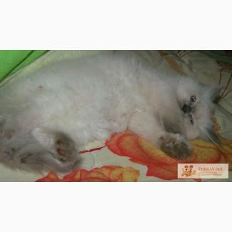 Котёночек регдолл, голубоглазая шиншилловая кошечка шикарного окраса. 3 месяца.