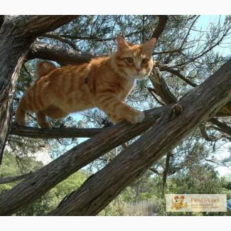 Курильский бобтейл приглашает на вязку кошек