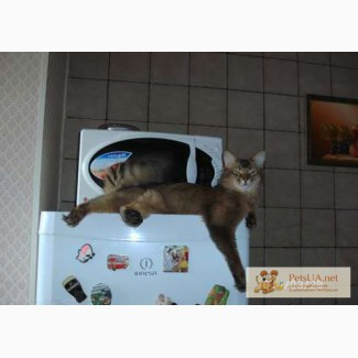 Сомалийский кот Вязка