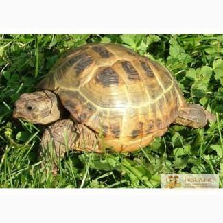 Продам сухопутную черепаху девочка 4,5года очень подвижная