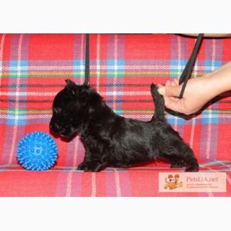 Скотч (шотландского) терьера щенки