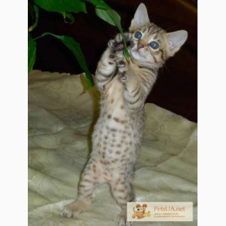 Котята породы ОЦИКЕТ (ocicat)