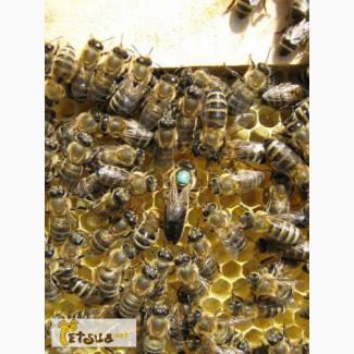 Пчёлы.Купить Пчелиные плодные матки Карпатка в Украине