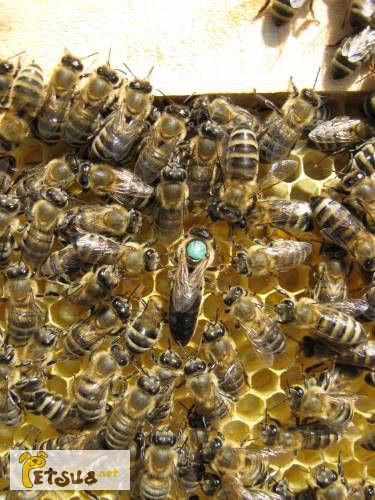 Фото 1/1. Пчёлы.Купить Пчелиные плодные матки Карпатка в Украине