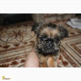 Продам щенков брюсельского грифона