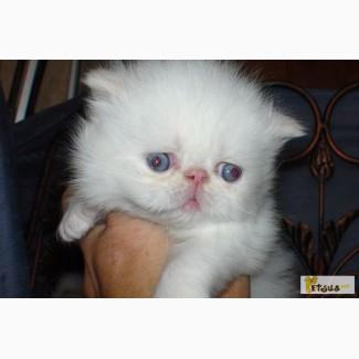 Персидские гималайские котята экстремального типа