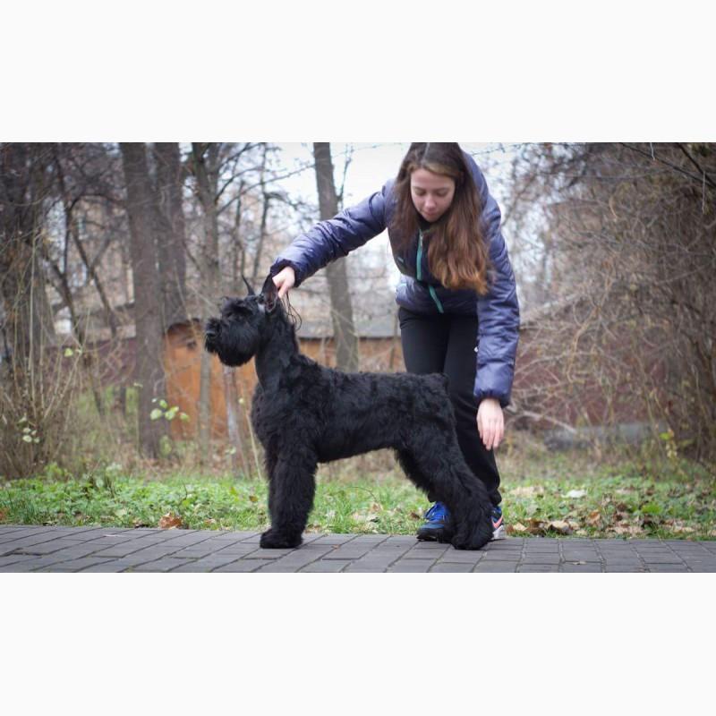 Фото 5. Ризеншнауцер щенки.Профессиональный питомник.Киев