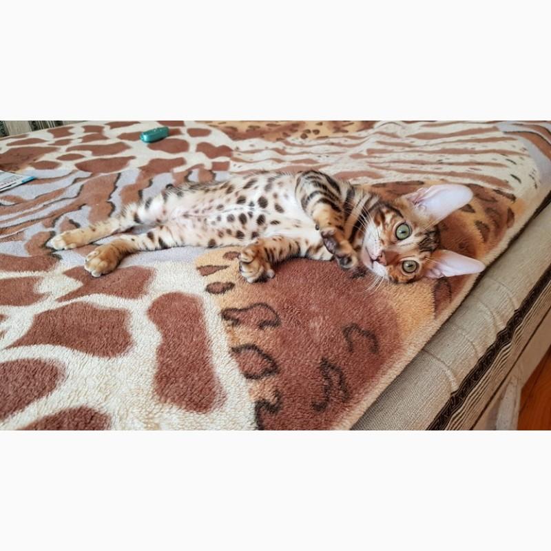Фото 1/3. Бенгальская кошка. Продажа котят бенгальской кошки