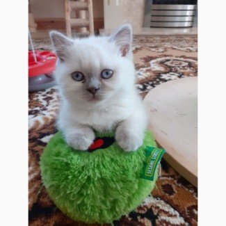 Our Adorable British Shorthair kittens