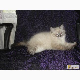 Продам невских маскарадных котят