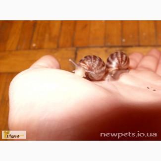 Продаются улитки Achatina immaculata :)
