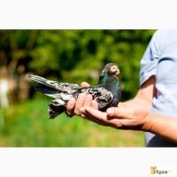 Декоративные голуби. Бойные, челкари
