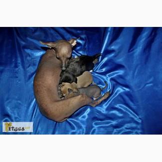 Щенки Перуанской Голой Собаки (Перуанская Орхидея Иноков)