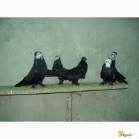 Продам голубей