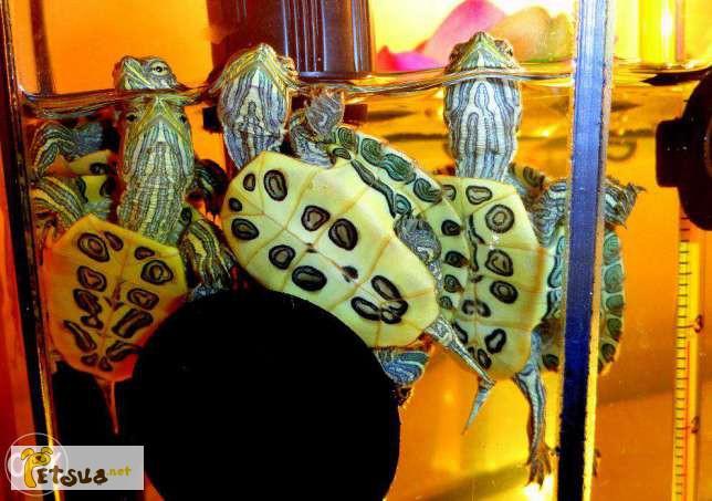 Фото 2/4. Красноухая черепаха заказывайте прямо сейчас с доставкой
