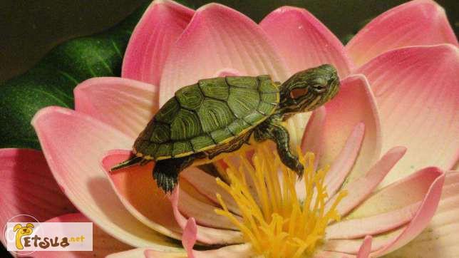 Фото 3/4. Красноухая черепаха заказывайте прямо сейчас с доставкой