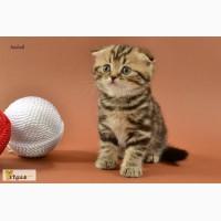 Мраморные вислоухие и прямоухие котята (SFS n22). Питомник