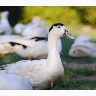 Продам Інкубаційні яйця качок кросу Мулард