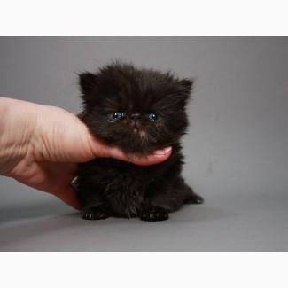 Чистокровная персочка, котёнок