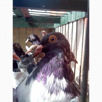 Продам элитных одесских голубей