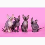 Котята породы Эльф, бамбино, канадский сфинкс