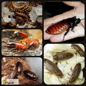 Живой корм: тараканы, сверчки, зофобас Киев+вся Украина