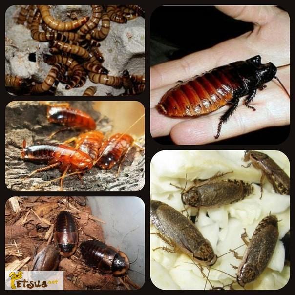 Фото 1/1. Живой корм: тараканы, сверчки, зофобас Киев+вся Украина