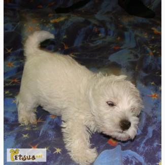 Вест Хайленд Вайт Терьер, Продаются щенки West Highland White Terrier, вестик, westie