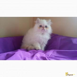 Котенок персик