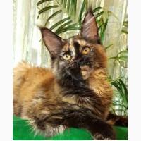 Котята Мейн Кун из питомника