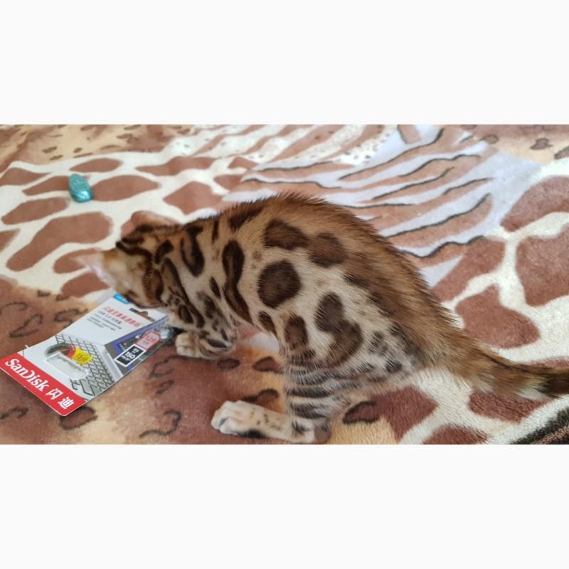 Фото 1/5. Бенгальская кошка. Продажа котят Киев