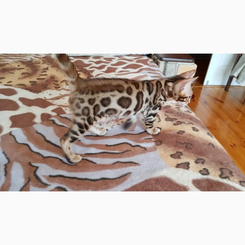 Фото 2/5. Бенгальская кошка. Продажа котят Киев
