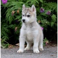 Продаем очаровательных щеночков хаски