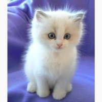 Sweet Ragdoll kittens and Cats Available are ready for sale
