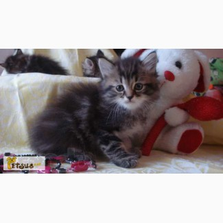 Сибирские котята лесного окраса