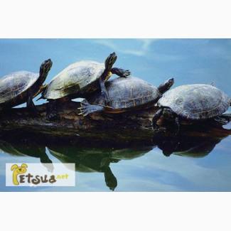 Предлагаем черепах: Среднеазиатские сухопутные и Красноухие водяные