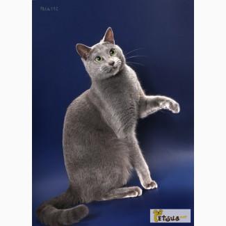 Импортный породистый русский голубой кот ищет кошек на вязки