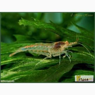 Креветки Неокардины, растения, рыбки