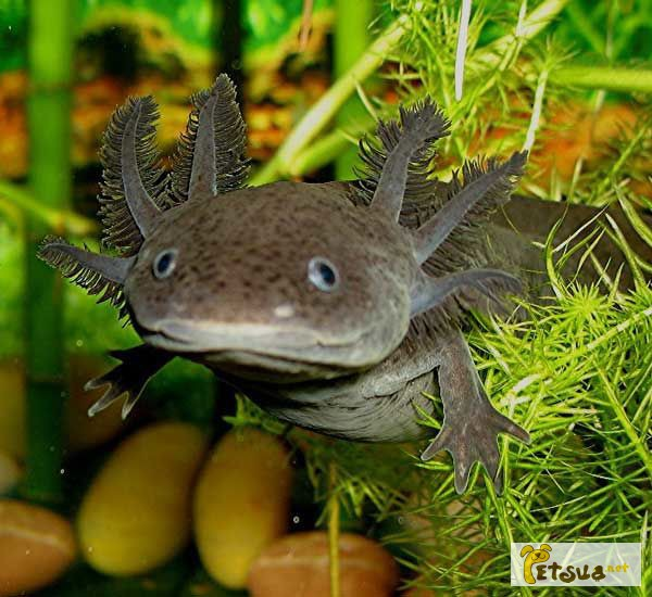 Фото 2/2. Серый аквариумный дракон - аксолотль! Доставка по Украине