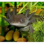 Серый аквариумный дракон - аксолотль! Доставка по Украине