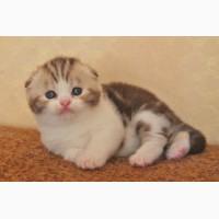 Открыто резервирование котят эксклюзивных окрасов