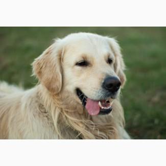Пропала собака, белый ретривер, кобель, кличка Лайтен
