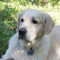 Фото 2/2. Пропала собака, белый ретривер, кобель, кличка Лайтен
