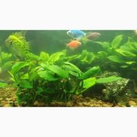 Анубиас нана, растение для аквариумов