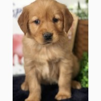 Very cute, social and lovely Golden Retriever Puppies are here