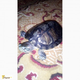 Продам за хорошу ціну черепаху
