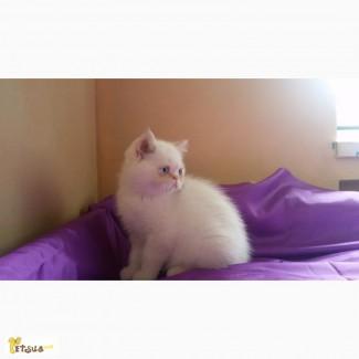 Котик-экзотик (классик)