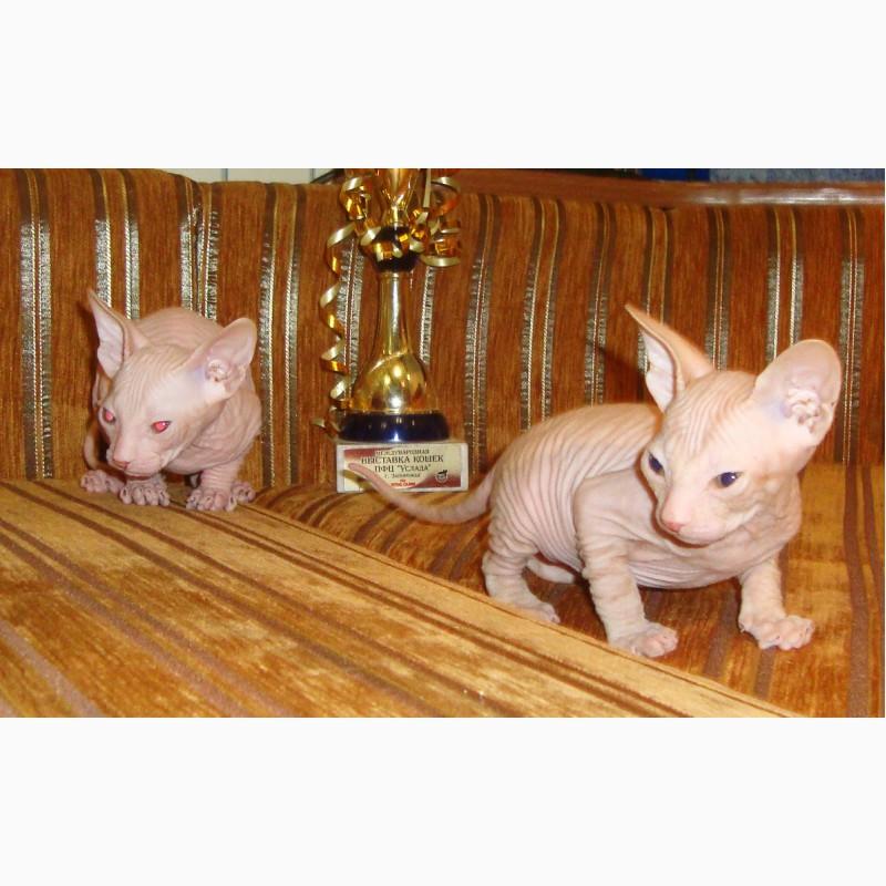 Фото 1/8. Резиновые котята донского сфинкса от родителей Чемпионов с документами WCF