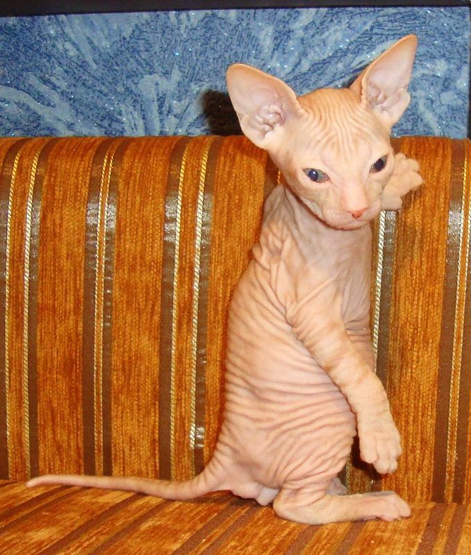 Фото 2/8. Резиновые котята донского сфинкса от родителей Чемпионов с документами WCF