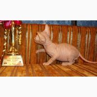 Резиновые котята донского сфинкса от родителей Чемпионов с документами WCF